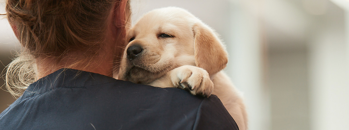 Young yellow Labrador puppy is resting over their handler's shoulder