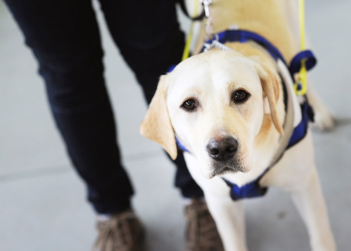 Golden Labrador Seeing Eye Dog in harness
